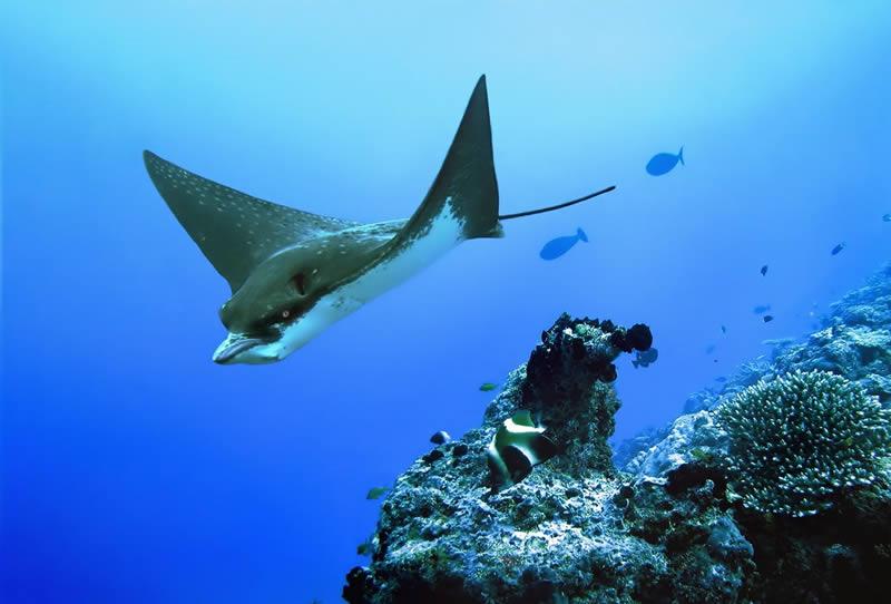 eagle ray maldives