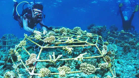 CORAL REEF RESTORATION AT AMAYA KUDA RAH MALDIVES