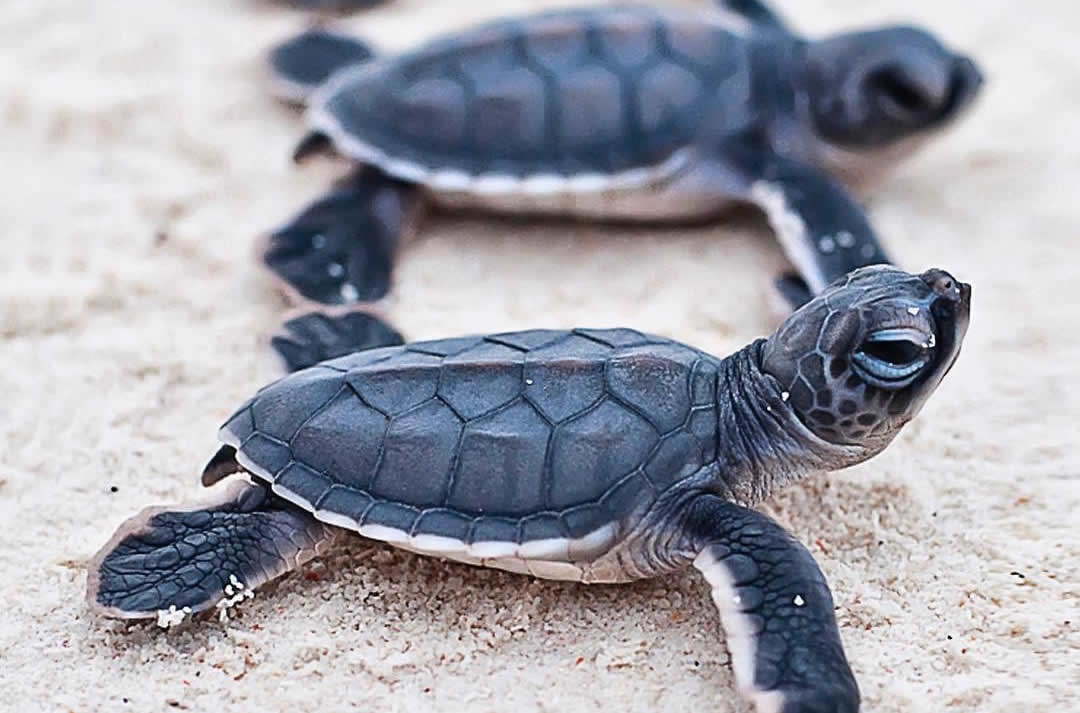 Green Turtles Hatching in maldives