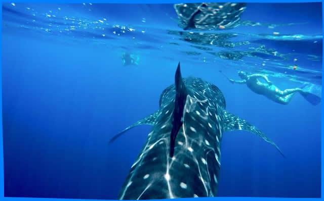 Maavilai  whale shark snorkelling