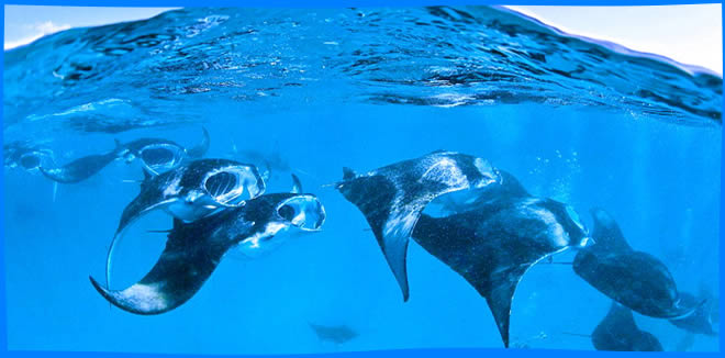 Manta Trust, partners gear up for first-ever Baa Atoll Manta Festival
