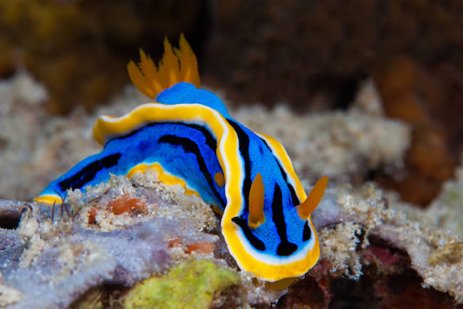 Nudibranch diving in the maldives