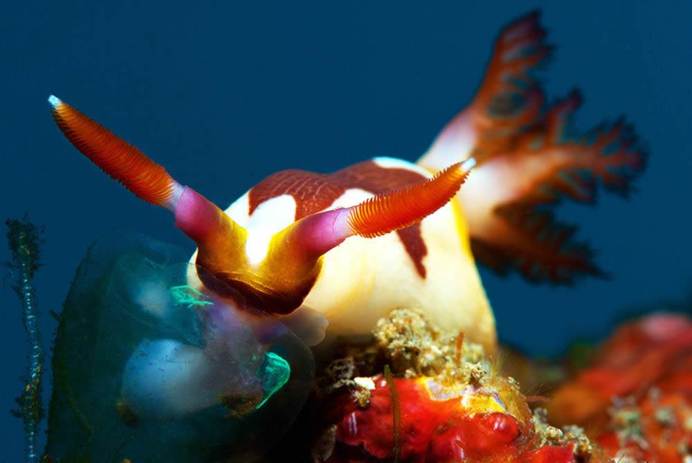 голожаберные (nudibranchs) в мальдивах