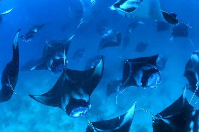 swimming with manta rays maldives