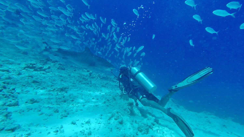 Tiger Sharks Diving in Fuvahmulah