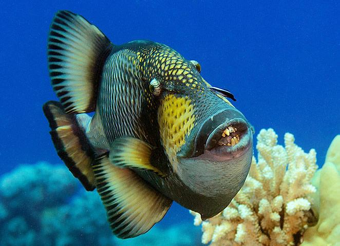 trigger fish dance
