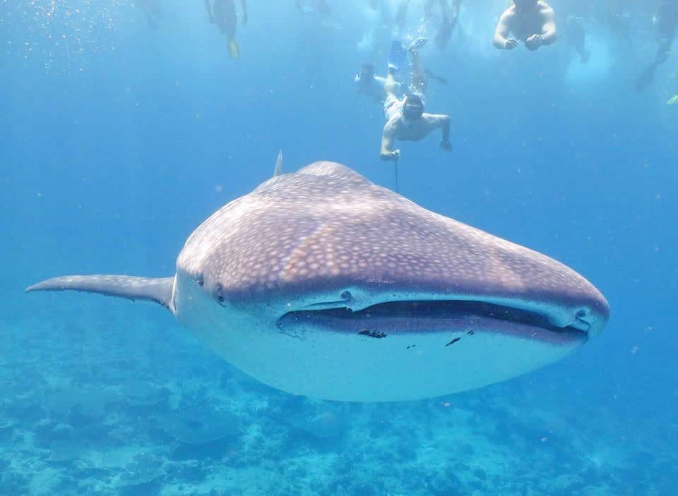 снорклинг с китовой акулой