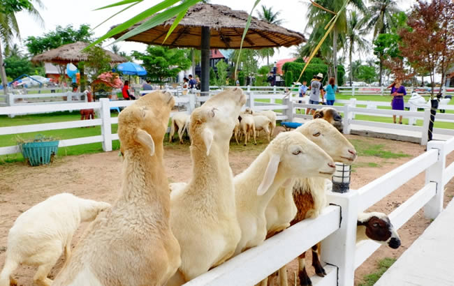 Овцеферма Pattaya Sheep Farm